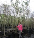 Combretum kraussii / Forest Bushwillow