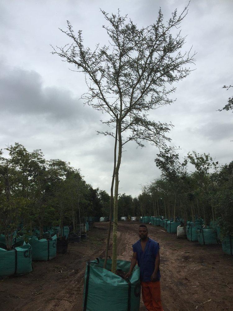 Acacia xanthophloea - ...