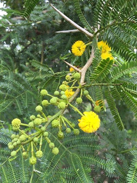 Large Acacia Karoo Or Sweet Thorn Tree Cjm Growers