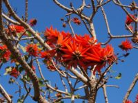 Erythrina lysistemon – Common Coral Tree