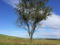 Olea africana – African Olive
